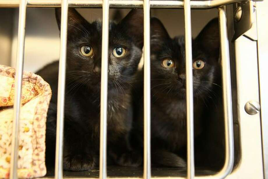 These kittens were waiting someone to adopt them Wednesday at the Seattle Animal Shelter. Staff there has seen an increase in the number of surrendered cats and kittens. Photo: Joshua Trujillo/seattlepi.com