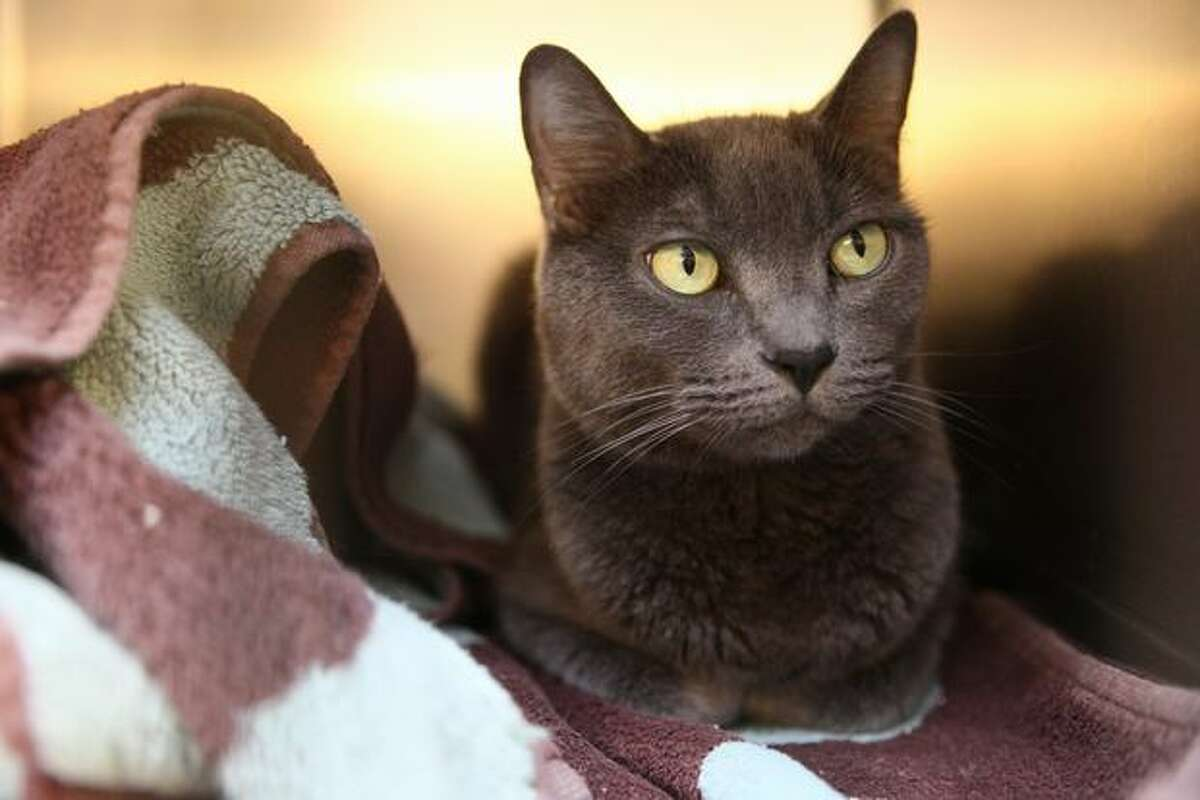 Chloe, a 5-year-old cat, was surrendered by her former owner in May. She has been waiting for someone to adopt her at the Seattle Animal Shelter, which has seen an increase in the number of surrendered cats and kittens.