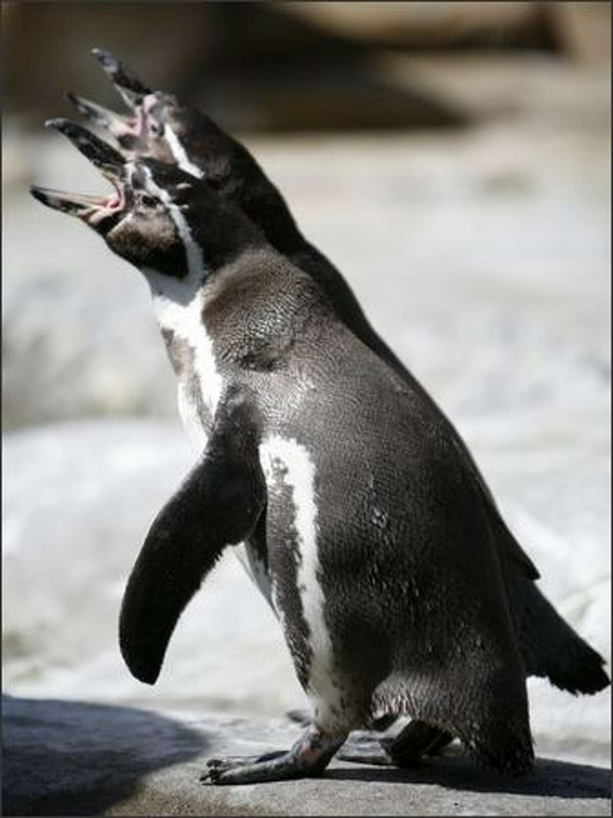 Humboldt penguins make sounds in their new exhibit on Friday at the Woodland Park Zoo in Seattle.