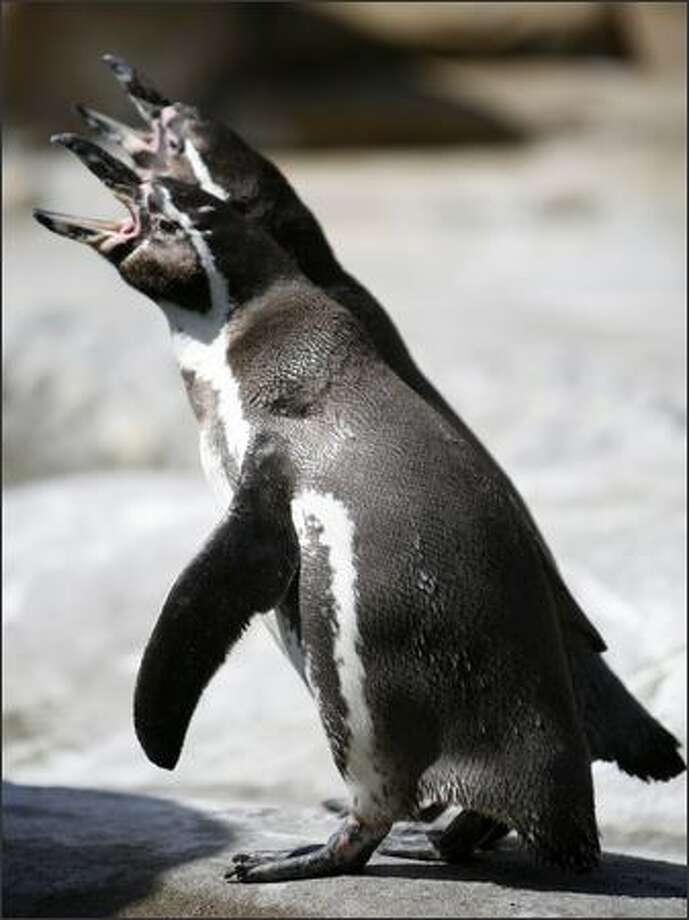 Humboldt penguins make sounds in their new exhibit on Friday at the Woodland Park Zoo in Seattle. Photo: Joshua Trujillo, Seattlepi.com