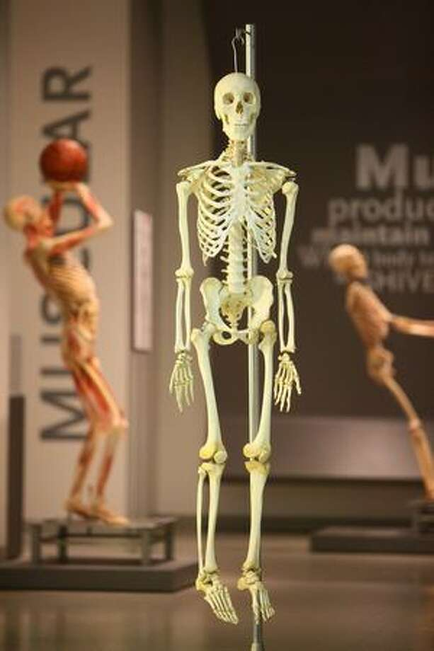 """A skeleton is shown in """"Bodies...The Exhibition"""" during a media preview on Thursday in downtown Seattle. Photo: Joshua Trujillo, Seattlepi.com"""