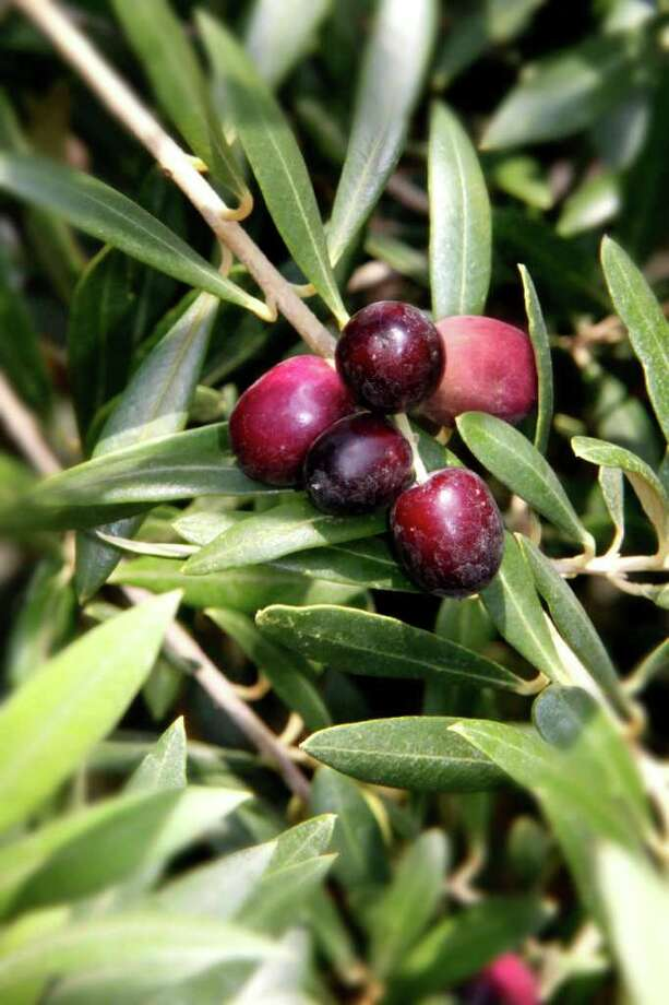 Olives ripen on a tree. Photo: Unknown / San Antonio Express-News