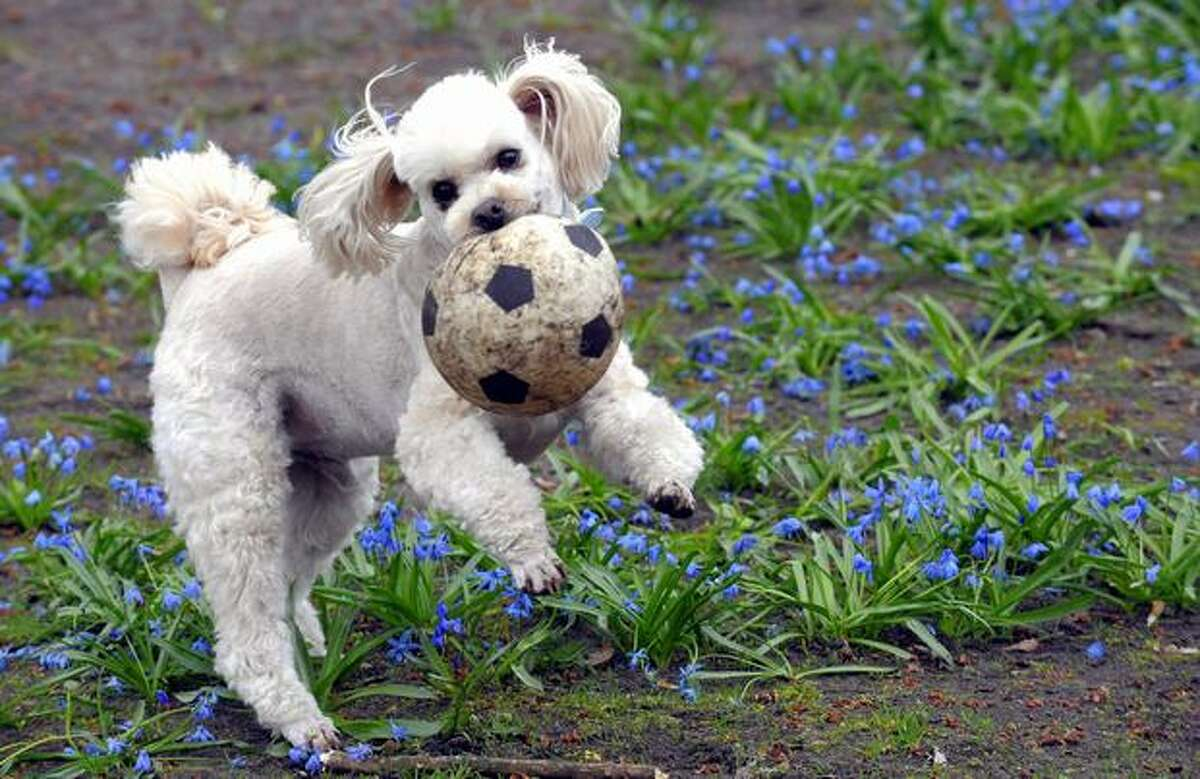 A dog plays with a ball in a park in Berlin on April 11, 2010. (THEO HEIMANN/AFP/Getty Images)