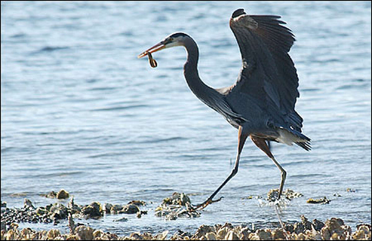 A great blue heron with an eel in its beak is a show-stopper, feeding almost daily along the shore of Hood Canal in front of the resort.