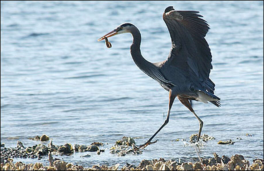 A great blue heron with an eel in its beak is a show-stopper, feeding almost daily along the shore of Hood Canal in front of the resort. Photo: Jeff Larsen, Seattle Post-Intelligencer / Seattle Post-Intelligencer