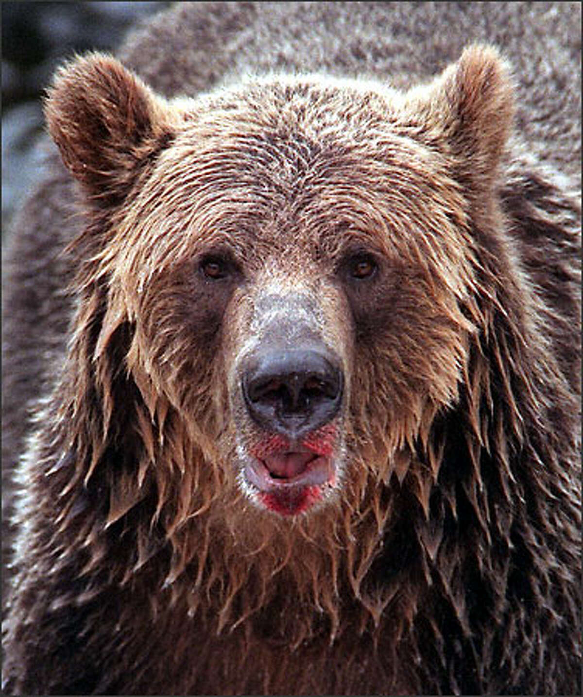 This grizzly bear is from British Columbia.