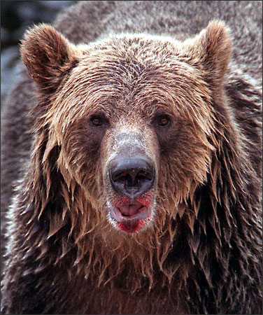 Connelly British Columbia Bans Trophy Hunting Of Grizzly
