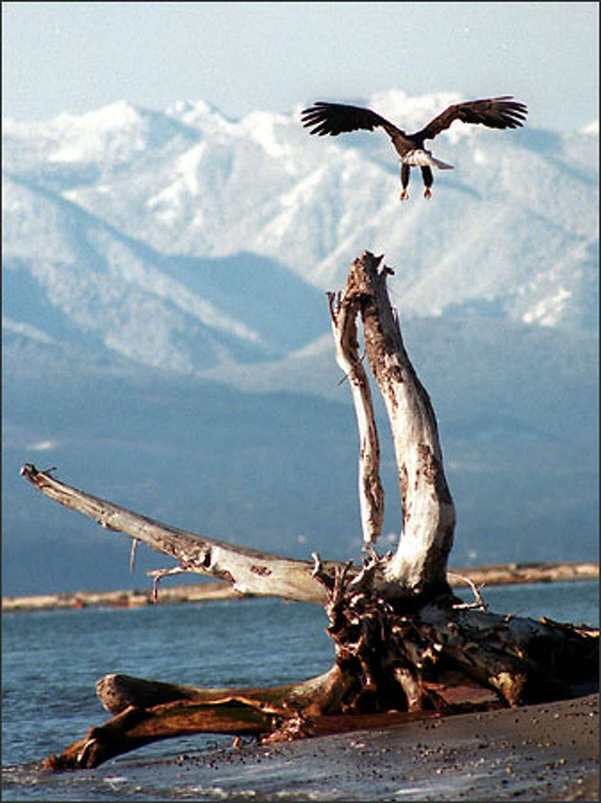 A bald eagle gets ready to land on a tree stump on the beach next to the Lighthouse at Dungeness Spit.
