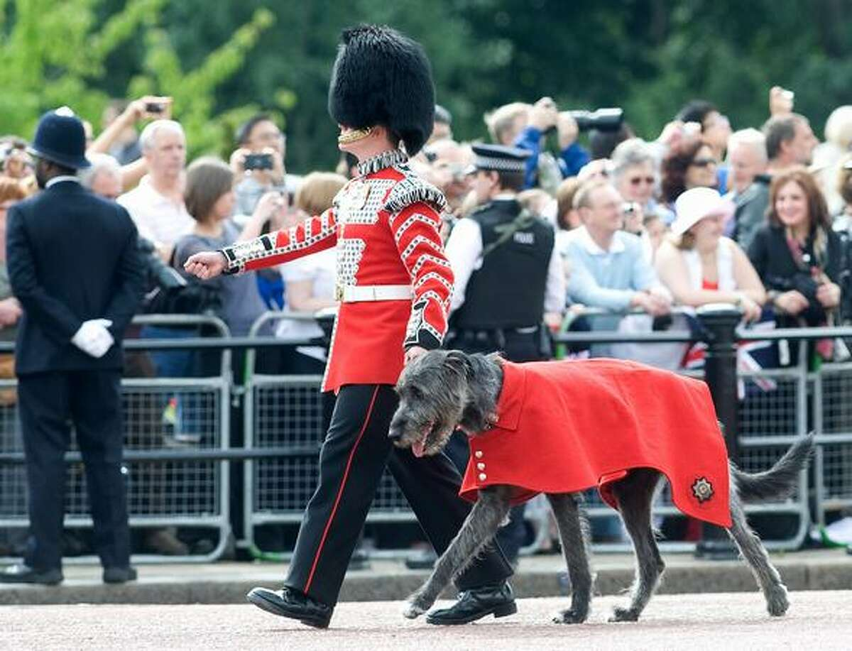 A Grenadier guard and a dog march down the Mall at Trooping The Colour in London, England. Trooping The Colour is the Queen's annual birthday parade and dates back to the time of Charles II in the 17th Century when the colours of a regiment were used as a rallying point in battle.