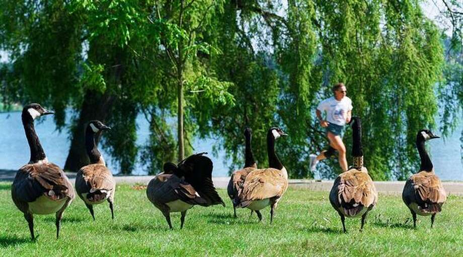 A group of Canadia geese walk through Green Lake, July 18, 1999. Photo: P-I File