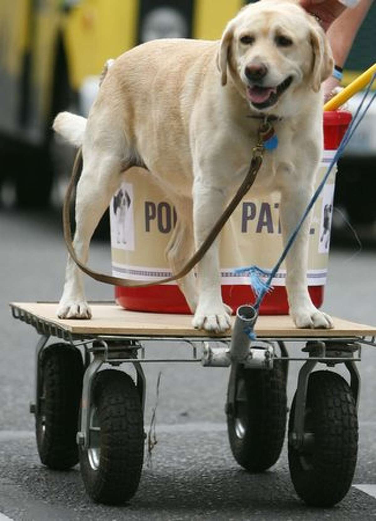 Kimber Missy, a yellow lab, rides behind the Riverdog Canine Coaching entry - on a poop patrol wagon - during the Issaquah Salmon Days festival parade.