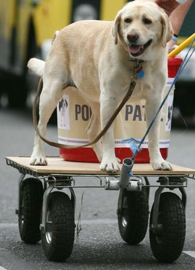 Kimber Missy, a yellow lab, rides behind the Riverdog Canine Coaching entry - on a poop patrol wagon - during the Issaquah Salmon Days festival parade. Photo: Joshua Trujillo, Seattlepi.com