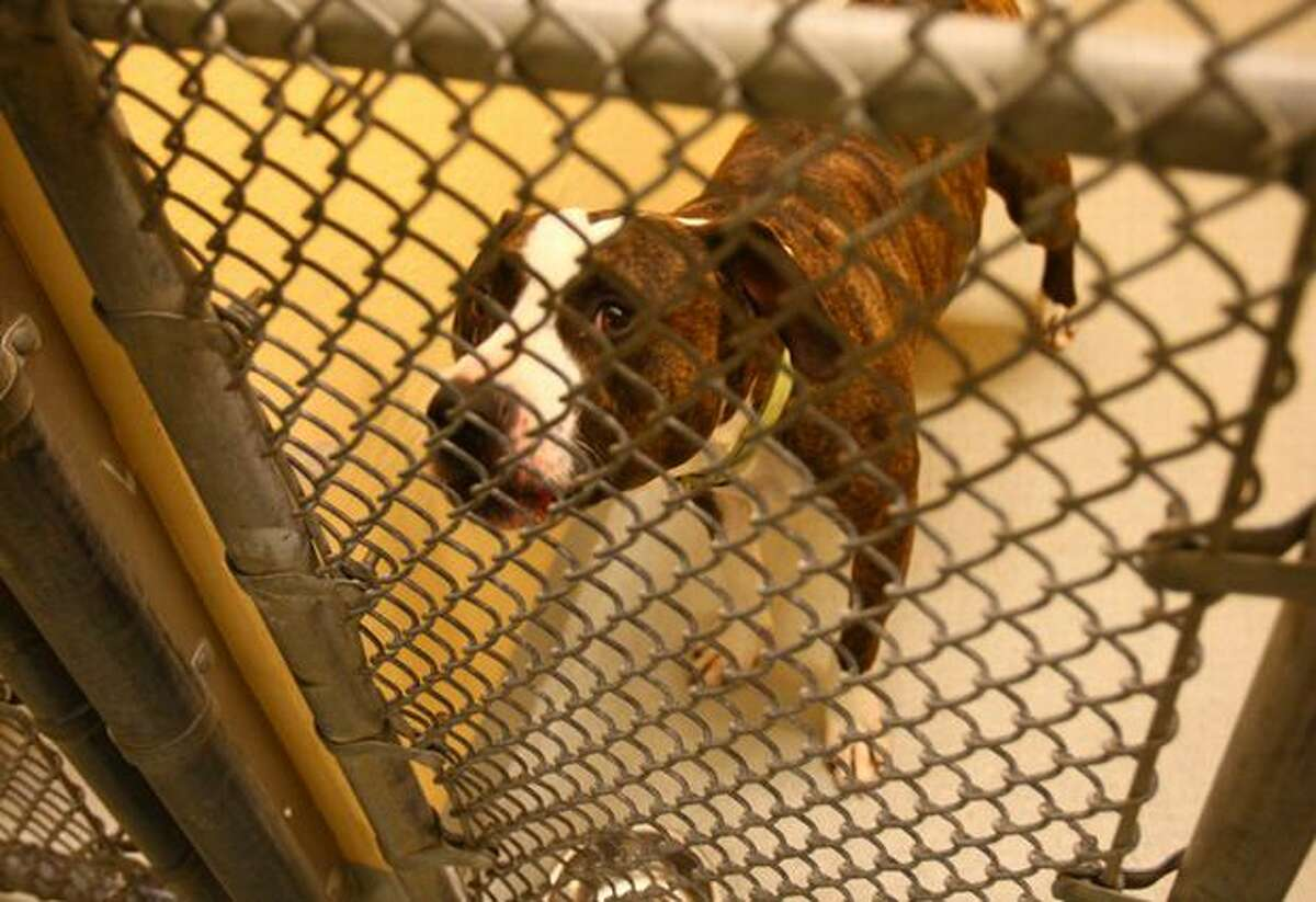 Roxy, a spayed female pit bull, was surrendered to the Seattle Animal Shelter and is one of the pets available for adoption.