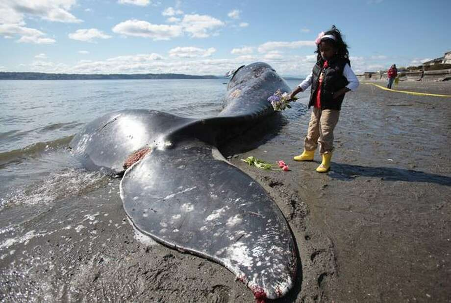 Remi Vincentini, 6, lays flowers next to a dead gray whale that washed up on Arroyo Beach in Southwest Seattle. A number of the large mammals were found dead on Puget Sound beaches in 2010. Photo: Joshua Trujillo, Seattlepi.com