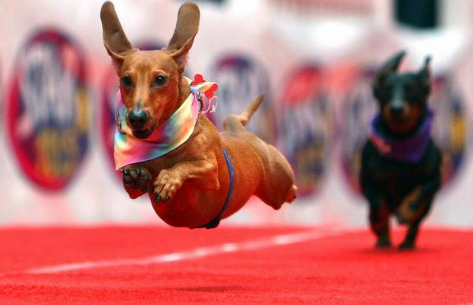 Buster gives his best run during preliminary in the Kent and Alan Wiener Dog Races held at Fischer Plaza. Photo: Joshua Trujillo, Seattlepi.com