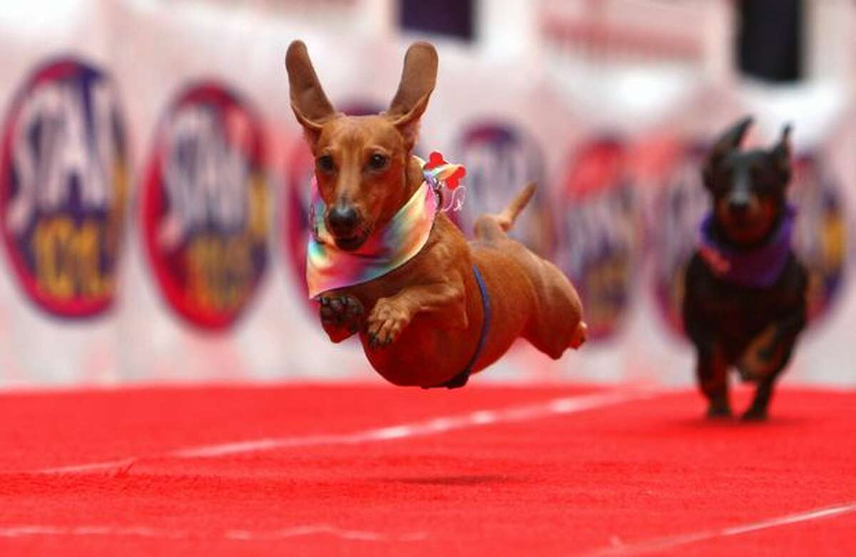 Buster gives his best run during preliminary in the