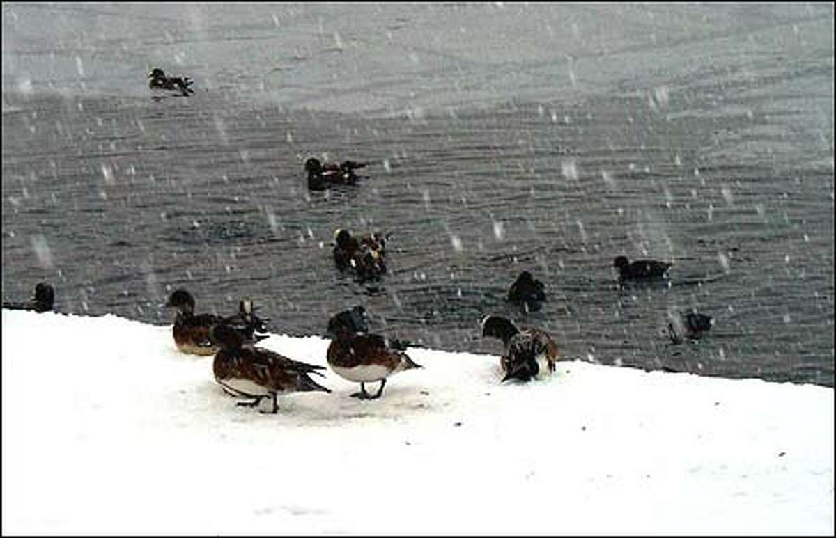 Ducks enjoy the snow and ice at Green Lake in Seattle Tuesday morning.