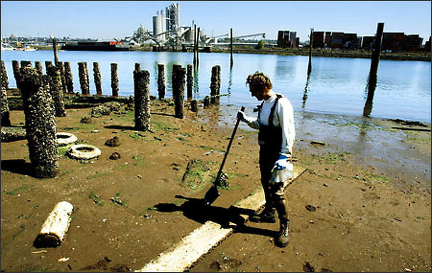 Environmental scientist Shawn Hinz looks for clams on the lower Duwamish River to check the effect of pollution on their numbers and edibility.Brown: