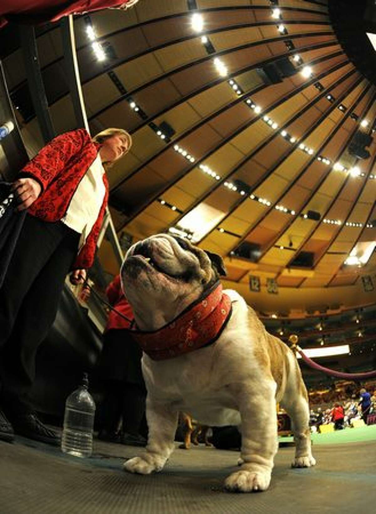 A Bulldog waits to go in the judging ring during the 135th Westminster Kennel Club Dog Show at Madison Square Garden in New York, February 14, 2011. America's best behaved, most carefully coiffed dogs hit the catwalk Monday at the annual Westminster Kennel Club Dog Show in New York. A total of 2,626 four-legged beauties, representing 179 breeds, were chasing the elusive Best in Show title to be decided late Tuesday. (Photo by TIMOTHY A. CLARY/AFP/Getty Images)
