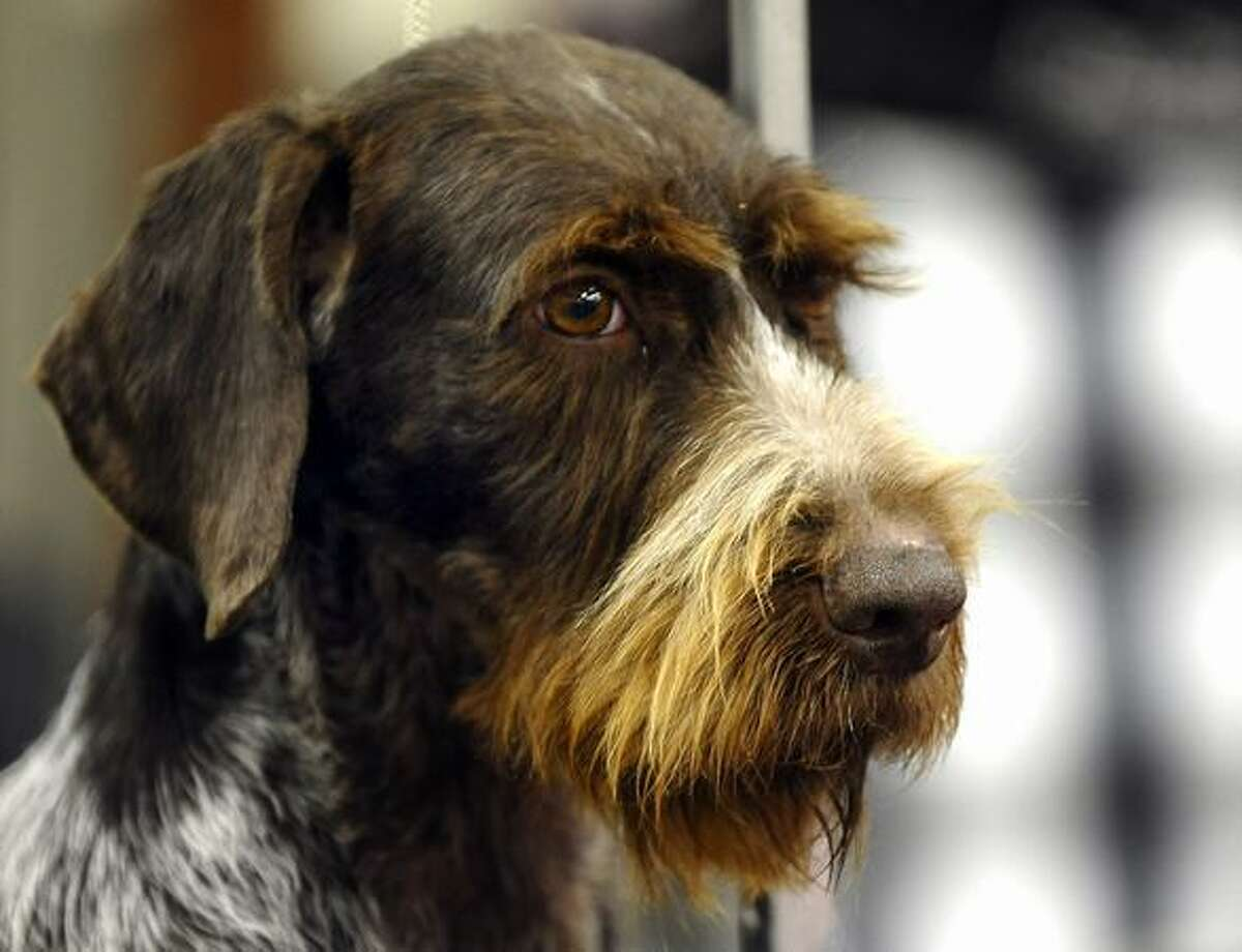 A German Wire Haired Pointer backstage during the 135th Westminster Kennel Club Dog Show at Madison Square Garden in New York.