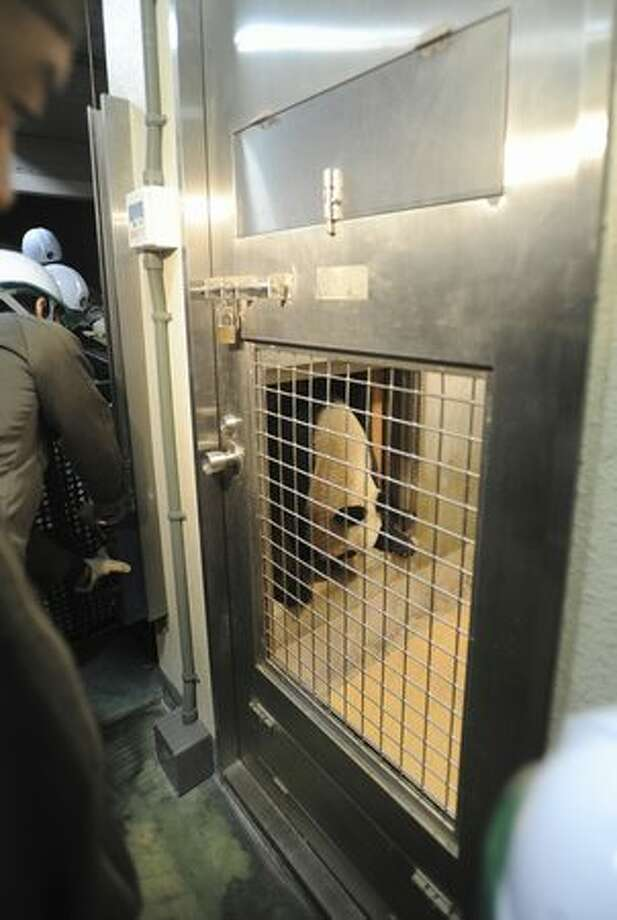 In this photo released by Ueno Zoological Gardens, known as Ueno Zoo, female Xiannu, one of two giant pandas flown in to Japan from China enters a new house after arriving at Tokyo's Ueno Zoo early Tuesday, Feb. 22, 2011. Japan hopes that the two giant pandas will help warm bilateral ties strained over a territorial spat -- and give Tokyo's economy a jolt, too. (AP Photo/Ueno Zoological Gardens) Photo: Associated Press