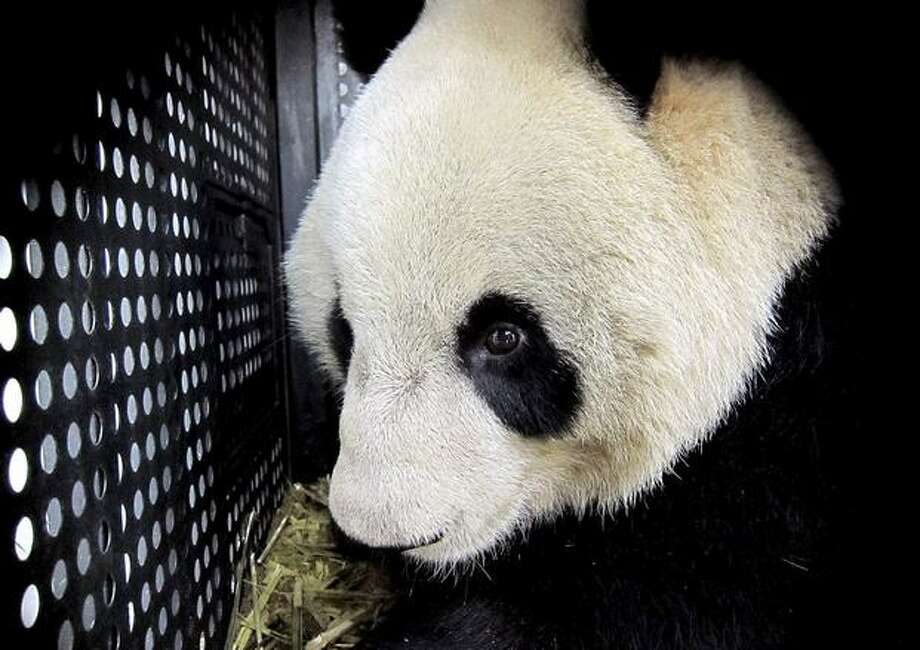 In this photo released by China's Xinhua News Agency, female panda Xiannu looks out of the cage at Shanghai Pudong Airport in Shanghai, east China, Monday, Feb. 21, 2011. A pair of giant pandas left their home in southwest China's Sichuan Province Monday for a 10-year stay in Japan, under a joint research agreement on the endangered species. Female panda Xiannu and male Bili, accompanied by two keepers from the China Giant Panda Protection and Research Center in Wolong, stopped in Shanghai before heading to Tokyo's Narita International Airport, Xinhua said. (AP Photo/Xinhua, Chen Fei) Photo: Associated Press