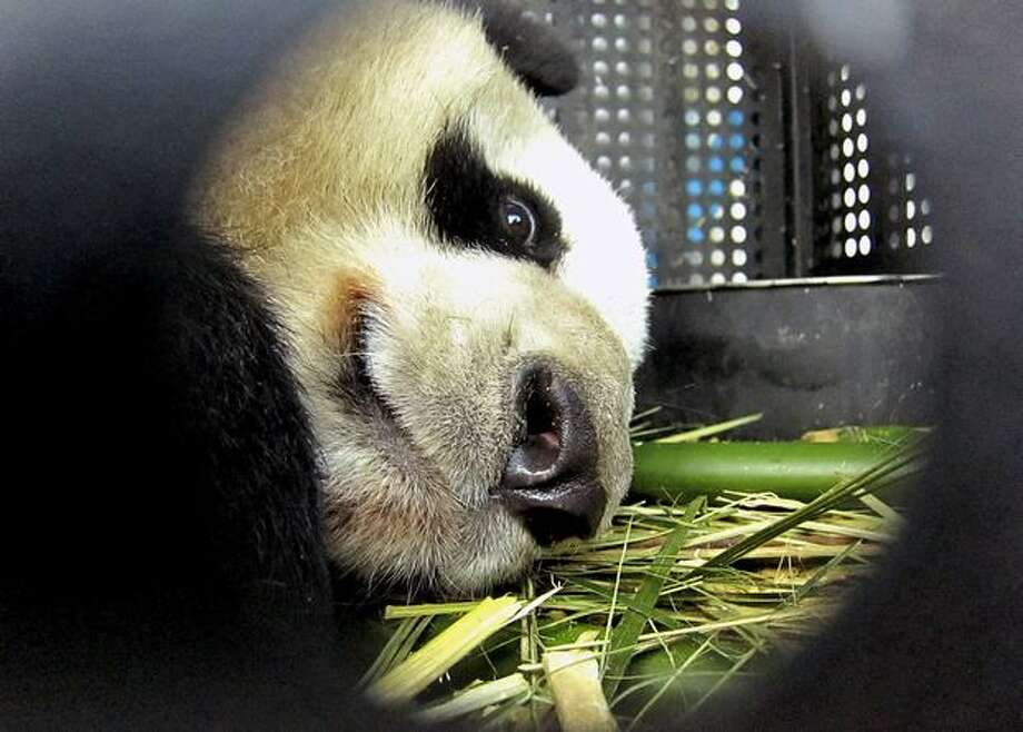 In this photo released by China's Xinhua News Agency, female panda Xiannu stays in the cage at Shanghai Pudong Airport in Shanghai, east China, Monday, Feb. 21, 2011. A pair of giant pandas left their home in southwest China's Sichuan Province Monday for a 10-year stay in Japan, under a joint research agreement on the endangered species. Female panda Xiannu and male Bili, accompanied by two keepers from the China Giant Panda Protection and Research Center in Wolong, stopped in Shanghai before heading to Tokyo's Narita International Airport, Xinhua said. (AP Photo/Xinhua, Chen Fei) Photo: Associated Press