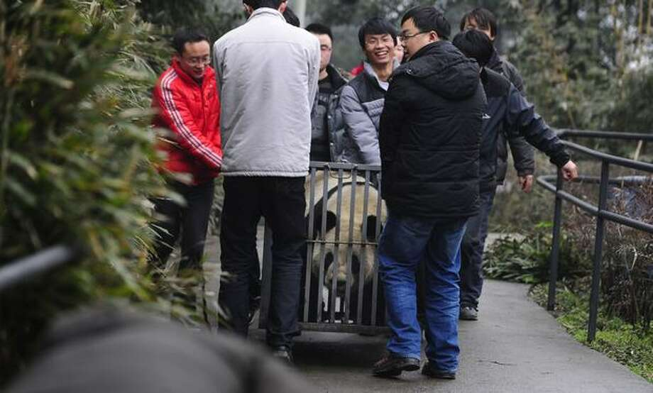 In this photo released by China's Xinhua News Agency, people carry 5-year-old female giant panda Xiannu toward a truck in Chengdu, southwest of Beijing, Sunday, Feb. 20, 2011. Xiannu and Bili, a 5-year-old male giant panda, are due to arrive at Tokyo's Ueno Zoo on Monday. They'll be the zoo's first since the 2008 death of its beloved giant panda Ling Ling. (AP Photo/Xinhua, Jiang Hongjing) Photo: Associated Press