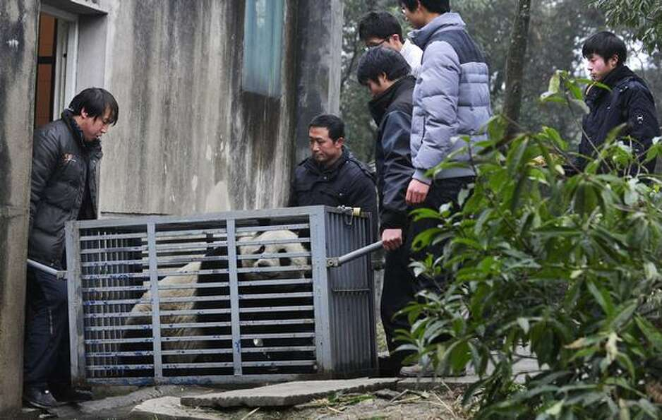 In this photo released by China's Xinhua News Agency, people carry 5-year-old female giant panda Xia