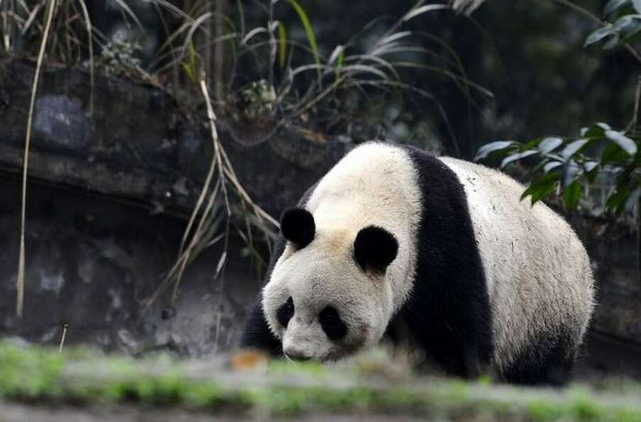 In this photo released by China's Xinhua News Agency, the female giant panda Xiannu strolls in the C