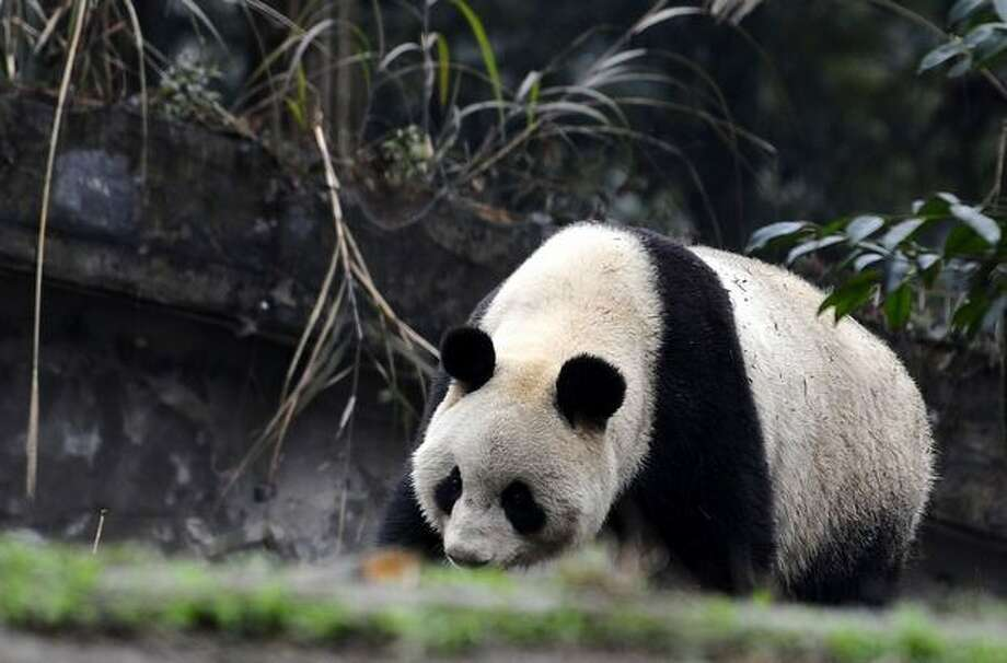 In this photo released by China's Xinhua News Agency, the female giant panda Xiannu strolls in the China Conservation and Research Center for the Giant Panda in Chengdu, southwest of Beijing, Sunday, Feb. 20, 2011. Two 5-year-old pandas are due to arrive at Tokyo's Ueno Zoo on Monday. They'll be the zoo's first since the 2008 death of its beloved giant panda Ling Ling. (AP Photo/Xinhua, Jiang Hongjing) Photo: Associated Press