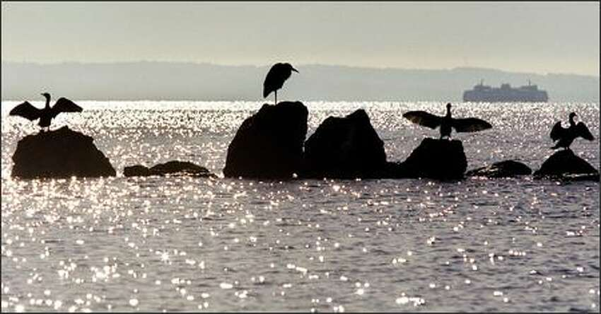 A collection of cormorants drying their wings in the sunlight are joined by a blue heron near Beach Drive close to Constellation Park Marine Reserve in West Seattle as a ferry passes by off Puget Sound.