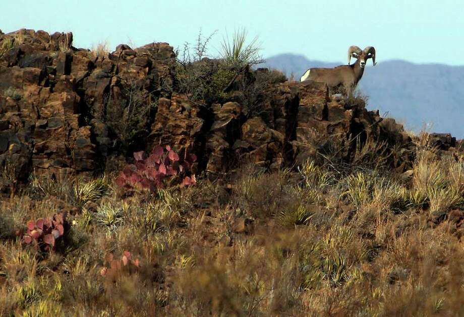 Big horn sheep at Sierra del Carmen in Coahuila, Mexico. The sheep were brought in from the Pacific coast of Mexico and now 250 head of livestock exist in the protected area. CEMEX, one of the biggest cement companies in the world, purchased about 400,000 acres of land south of Big Bend National Park and in the past 10 years has developed a private conservatory for native wildlife and vegetation called Proyecto El Carmen. Kin Man Hui/kmhui@express-news.net Photo: KIN MAN HUI, Kin Man Hui/kmhui@express-news.net / San Antonio Express-News