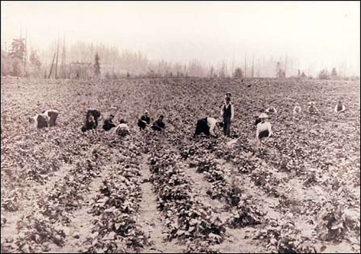 From the P-I archives: The strawberry crop was ready to be harvested at the Jesse Warren Farm in the early 1900s. The strawberry field was close to the site of the present-day Nordstrom store at Bellevue Square.