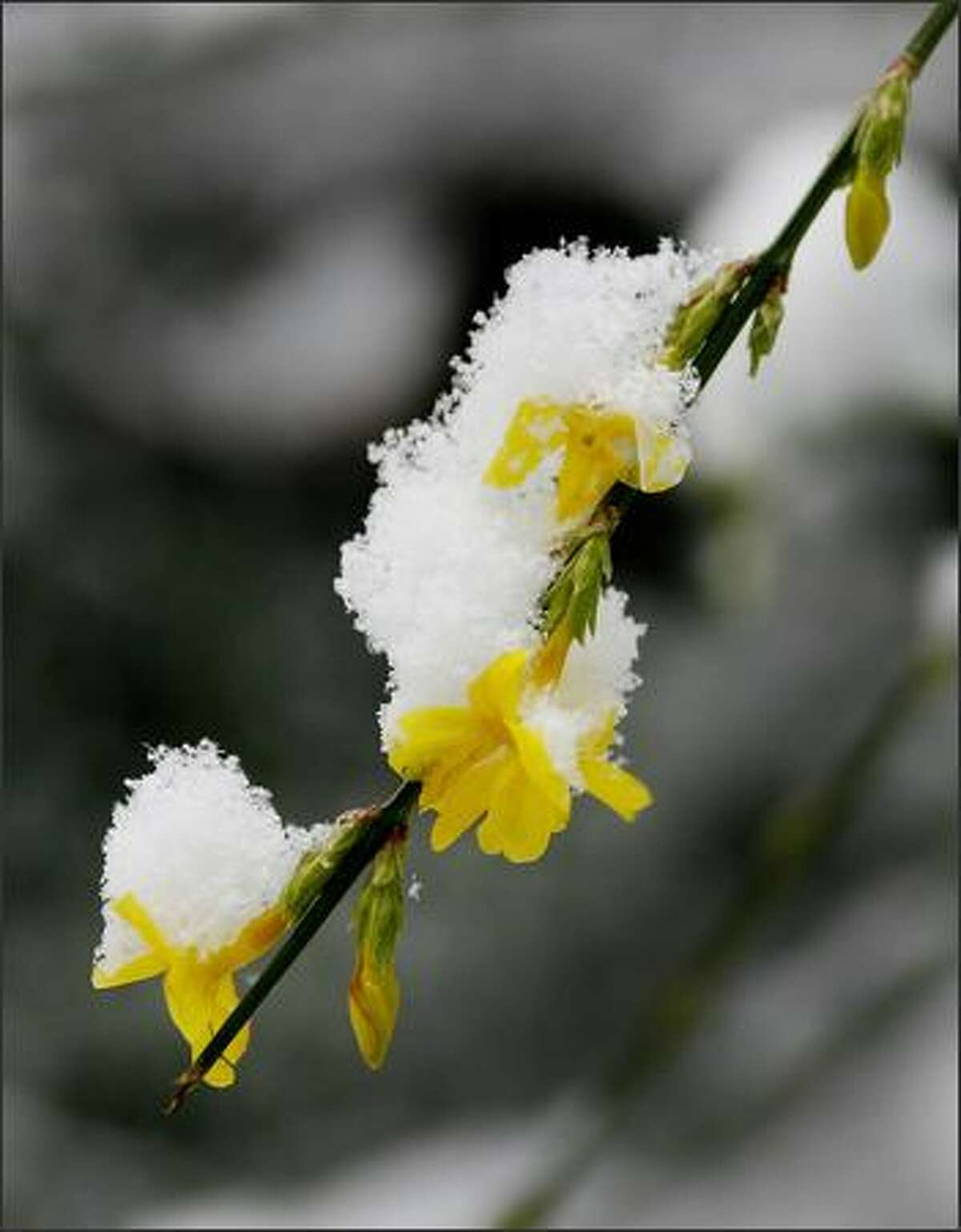 Snow covers witch hazel blossoms in the Washington Park Arboretum in Seattle.