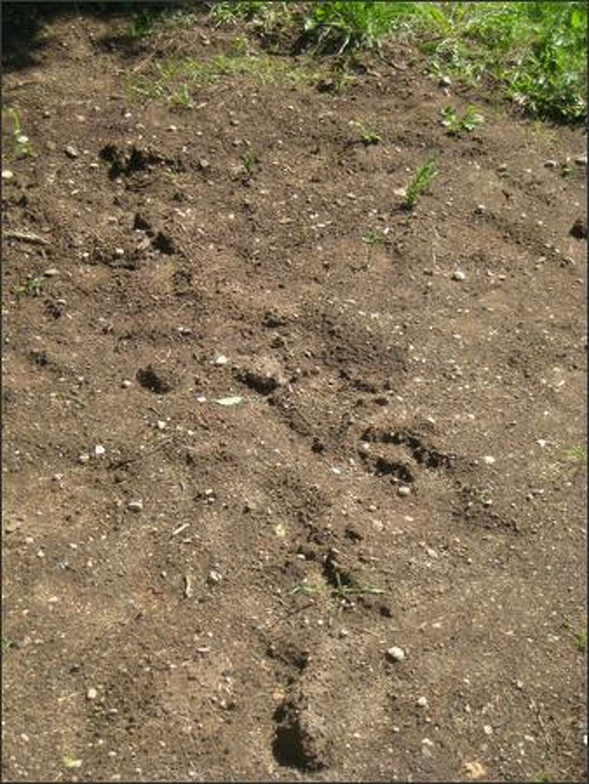 Suspected animal tracks, possibly made by a bear, next to the Ferdinand P-patch on Beacon Hill.