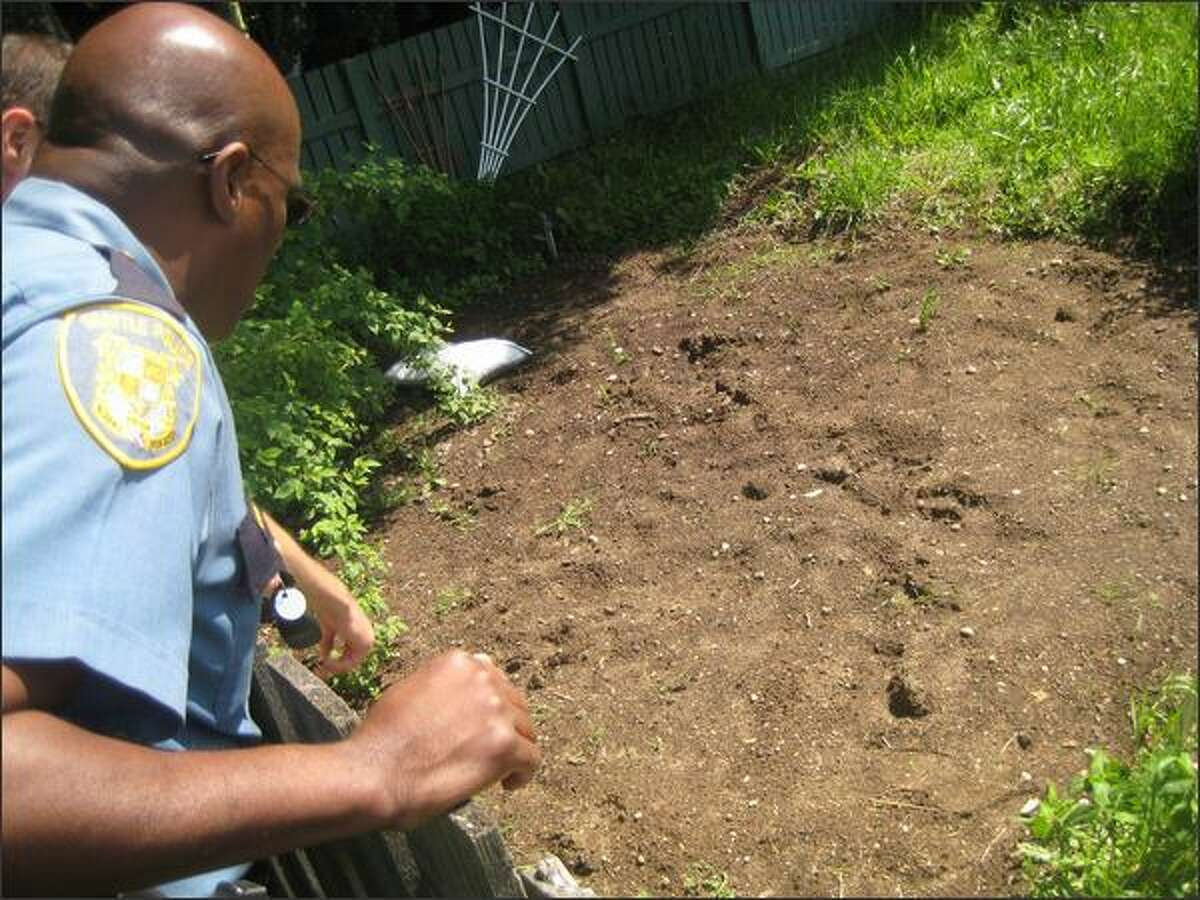 Seattle Police Capt. Les Liggins inspects suspected animal tracks, possibly made by a bear, next to the Ferdinand P-patch on Beacon Hill