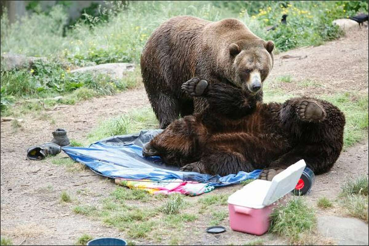 Grizzly bears destroy a campsite by rolling on top of an area sprayed with hair spray during a