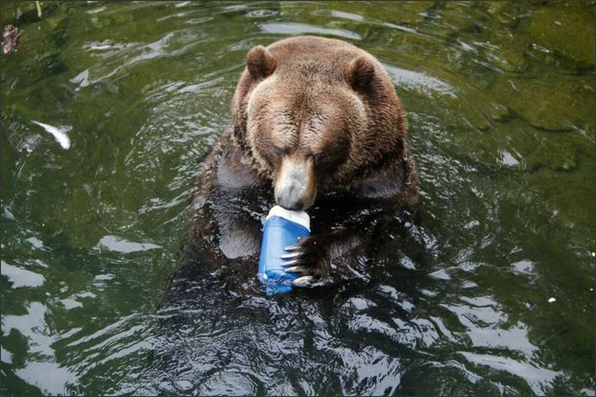 A grizzly bear bites into a beverage cooler.