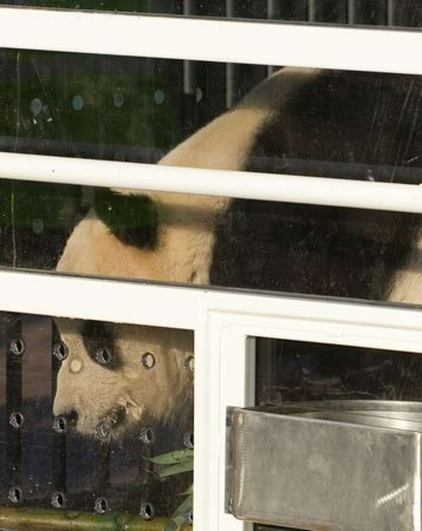 Tai Shan, one of the Smithsonian National Zoo's giant pandas, looks out from a specially designed crate prior to leaving the zoo in Washington, DC, Feb. 4, 2010. (SAUL LOEB/AFP/Getty Images)