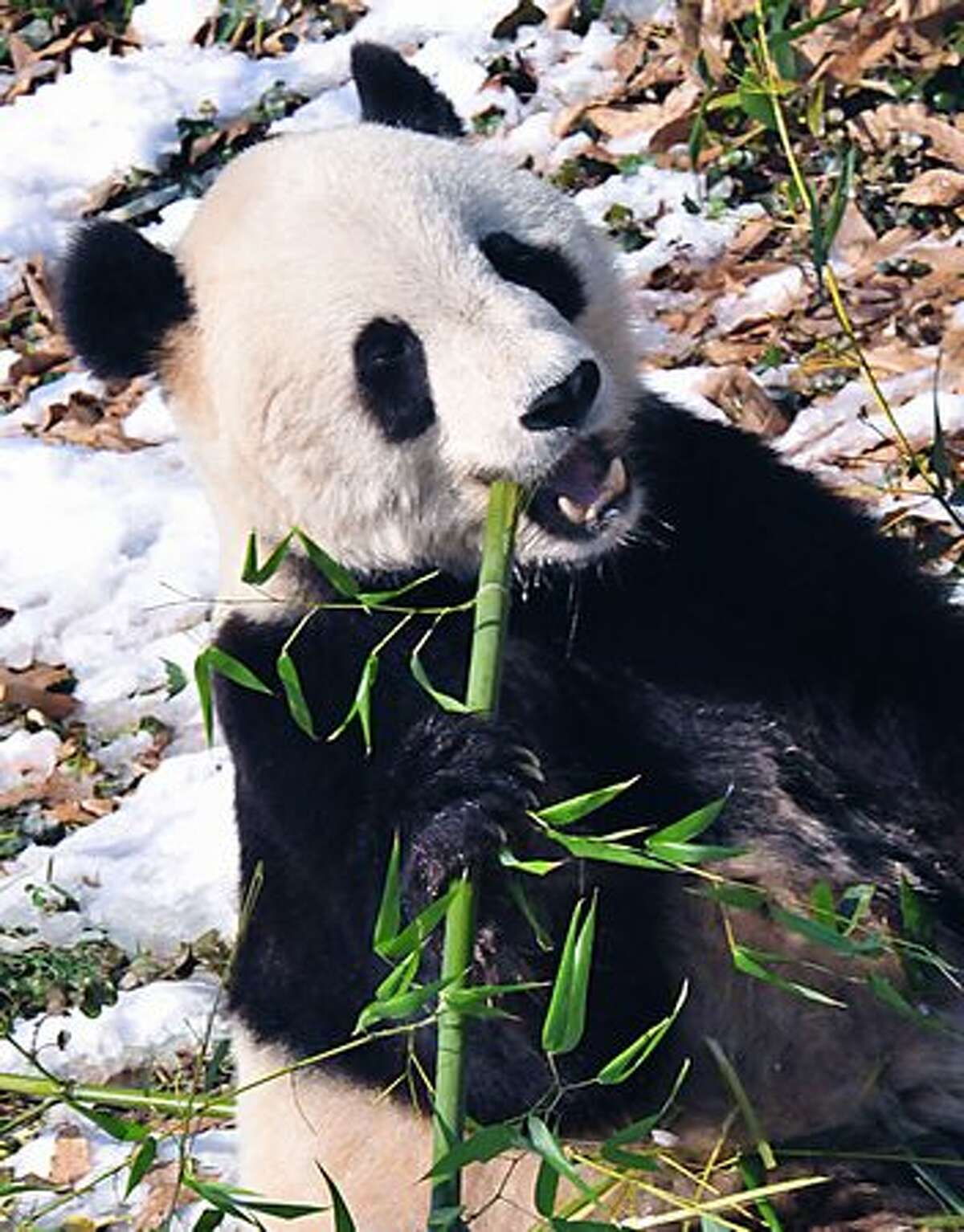 Tai Shan, one of the Smithsonian Zoo's Giant Pandas chews on bamboo on Feb. 3, 2010 in his habitat. (KAREN BLEIER/AFP/Getty Images)