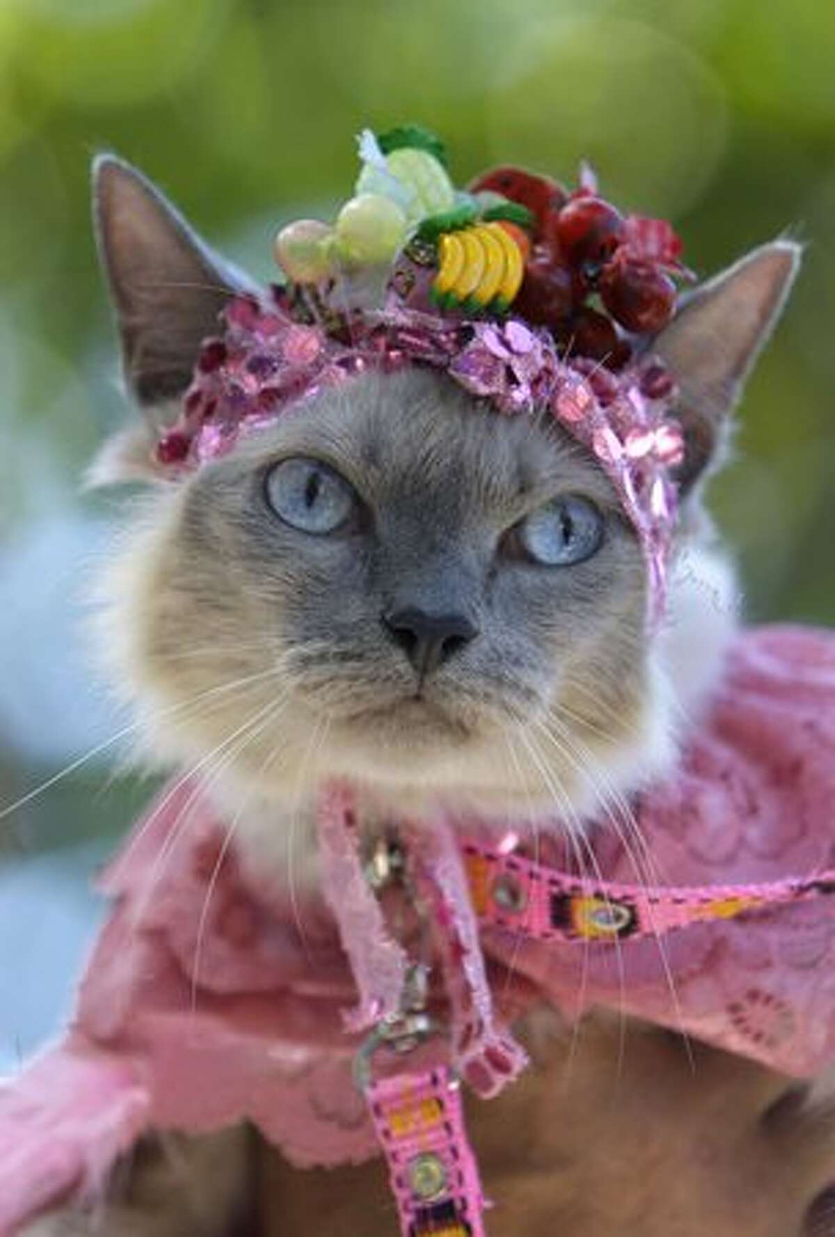 A cat dressed like famous singer Carmen Miranda is seen during the dog street carnival parade in Rio de Janeiro, Sunday, Feb. 7. Hundreds gathered in the streets during one of the many parades before Carnival, which runs Feb. 12-16. (AP Photo/Silvia Izquierdo)
