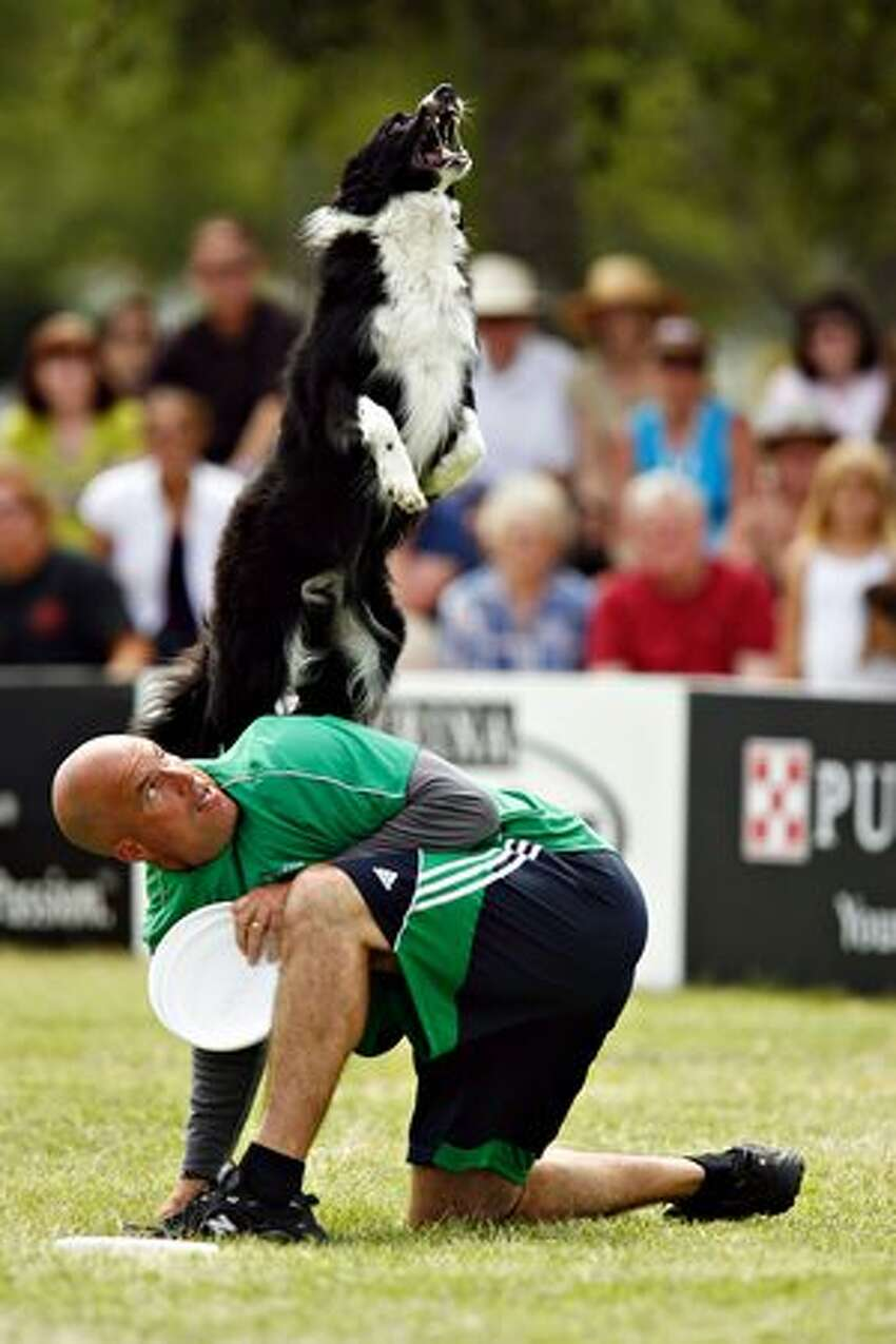 Rocket, a 6-year-old Border Collie does a back vault off his owner Mark Muir of Williamson, Ga. during practice for the flying disc competition at The Purina Incredible Dog Challenge on Friday, April 16, 2010, in St. Petersburg, Fla.(AP Photo/St. Petersburg Times, Melissa Lyttle)