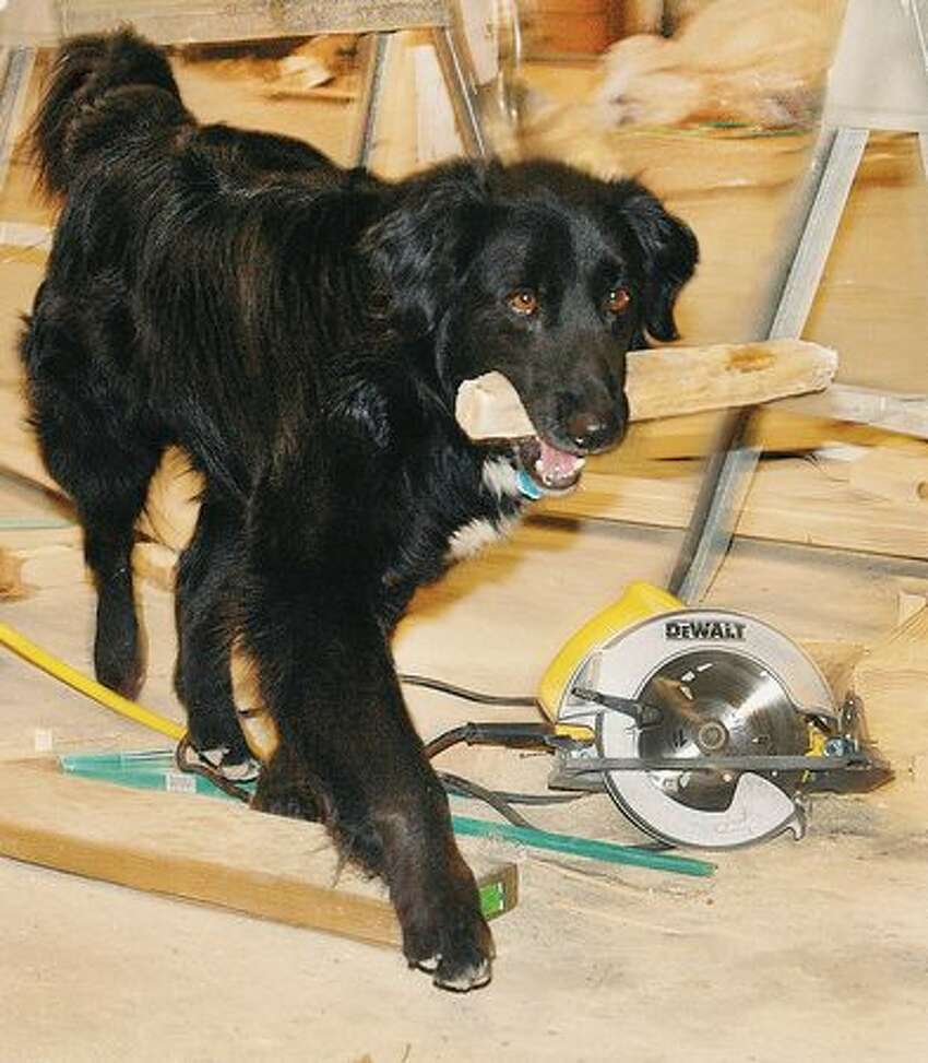 Chevy, the job site dog, is working hard Monday afternoon, April 12, 2010 keeping the Exhibit Hall work area at the fairgrounds in Miles City, Mont., free of stray sticks and piling them up in a convenient location near tools. Being an independent contract dog, Chevy is more then willing to prove his work ethic by bringing back any stick you throw. (AP Photo/Steve Allison/Miles City Star)