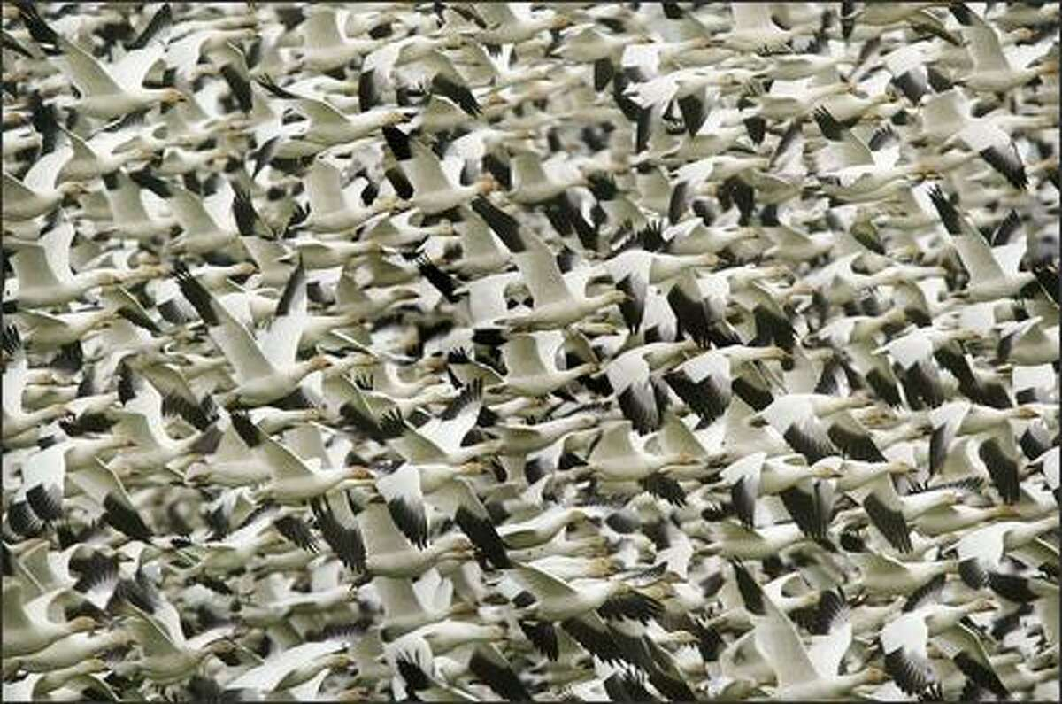 Thousands of snow geese take to the air from a farm field where they had been feeding near Conway in Skagit County. The state's Skagit Wildlife Area west of Conway is one of the best public sites for viewing snow geese -- up to 27,000 of the birds winter on the Skagit river delta.