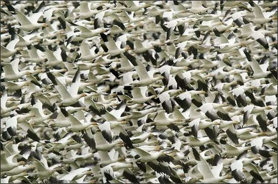 Thousands of snow geese take to the air from a farm field where they had been feeding near Conway in Skagit County. The state's Skagit Wildlife Area west of Conway is one of the best public sites for viewing snow geese -- up to 27,000 of the birds winter on the Skagit river delta. Photo: Dan DeLong, Seattle Post-Intelligencer