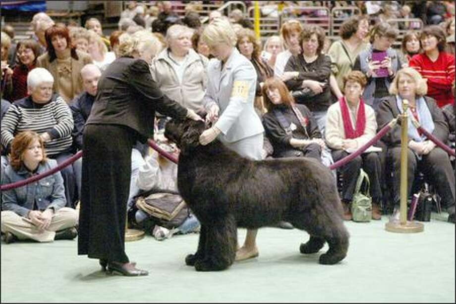 Josh, a 3-year-old Newfoundland, is judged by Ruth Zimmerman, left, while being presented by his handler, Michelle Ostermiller, during competition at the Westminster Kennel Club dog show. The shiny, black Newfoundland lived up to his advance billing and won best in show at Westminster. (AP Photo/Mary Altaffer) Photo: Associated Press