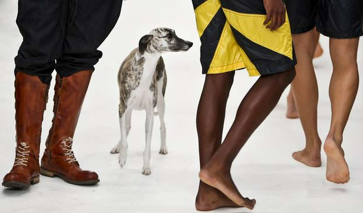 A dog is seen in the catwalk during the presentation of a Spring/Summer 2011 creation by Portuguese designer Nuno Gama during the 35th Edition of Moda Lisboa, the Lisbon Fashion Week, on October 9, 2010, in Mercado da Ribeira, Lisbon.