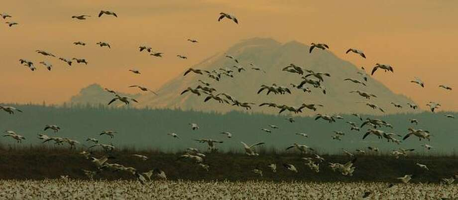 Snow geese by the thousands land in a Skagit Valley farm field with Mount Rainier in the background. (Jeff Larsen / P-I) Photo: P-I File