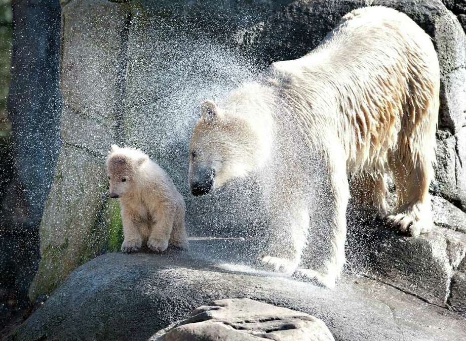 Polar bear Malik and her four-month old cub shake themselves dry after a swim in a large outdoor enclosure with a huge pond at Aalborg's zoo. It was awaited with anticipation how long it would take for the little polar bear to throw himself into the water for the first time. Malik was fast into the water but it took a long time before the little bear ventured out into the pool. Photo: HENNING BAGGER, Getty Images / 2011 AFP